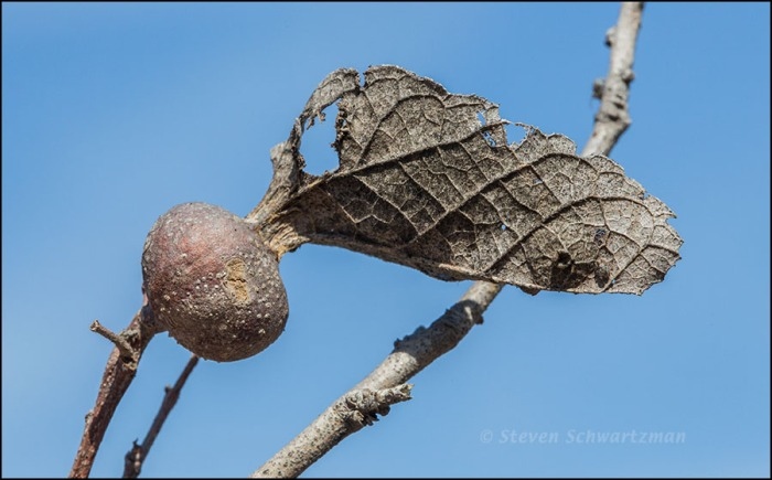 Drying Leaf and Gall 6746