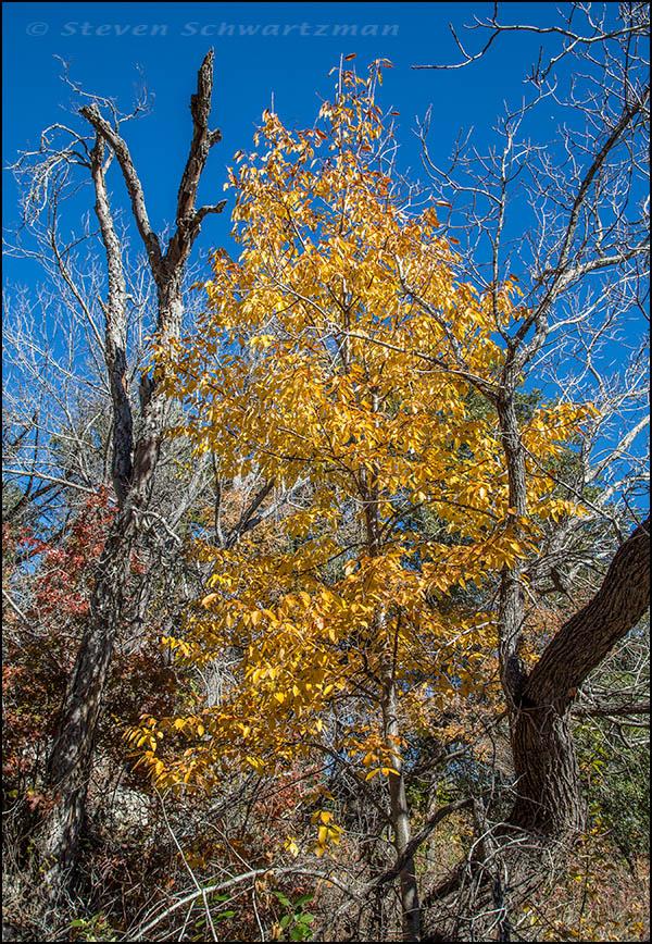 Escarpment Black cherry Tree Turning Yellow 9511