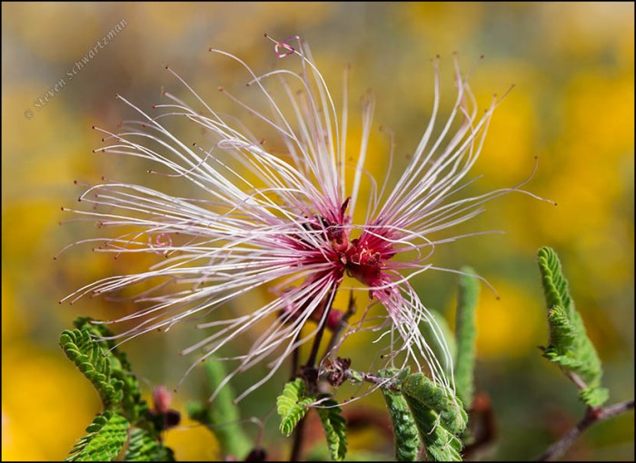 Fairy Duster Flower 2472