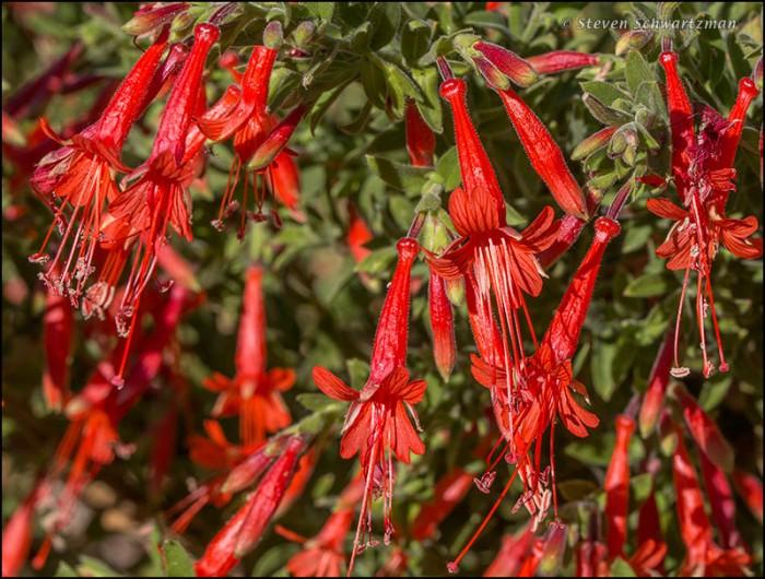Firecracker Penstemon Flowers 2676