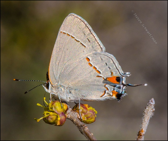 Gray Hairstreak Butterfly on Elbowbush Flower 6854
