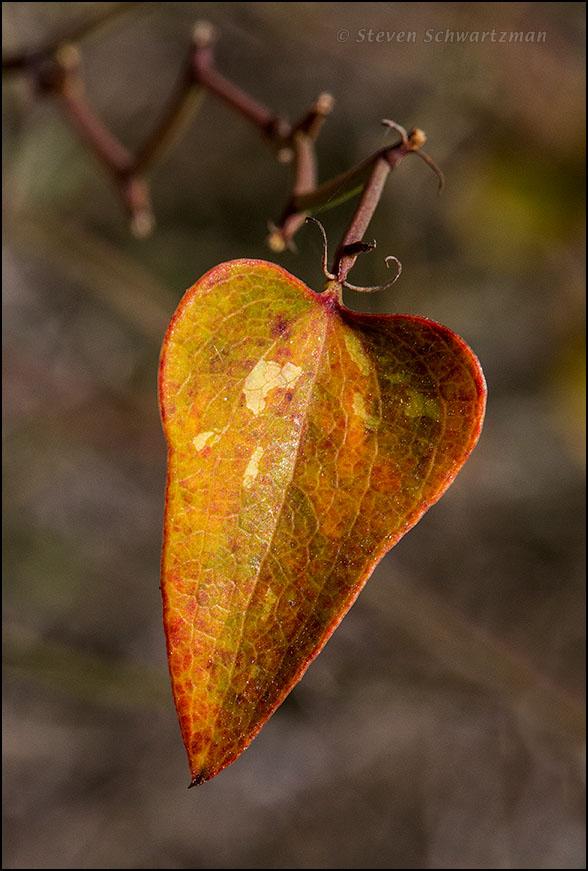 Greenbrier Leaf Turned Orange 6839