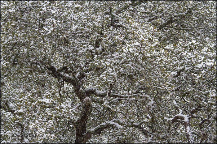 Live Oak Tree in Snow 2076