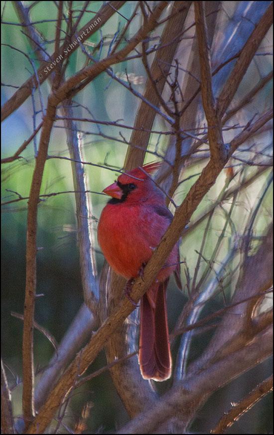 Male Cardinal in Tree 6420