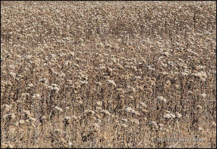 Marsh Fleabane Colony Dried Out 9901