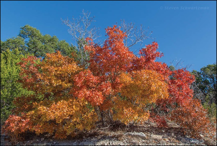 Oak Trees Turning Orange and Red 9838