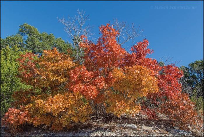Oak Trees Turning Orange and Red 9838