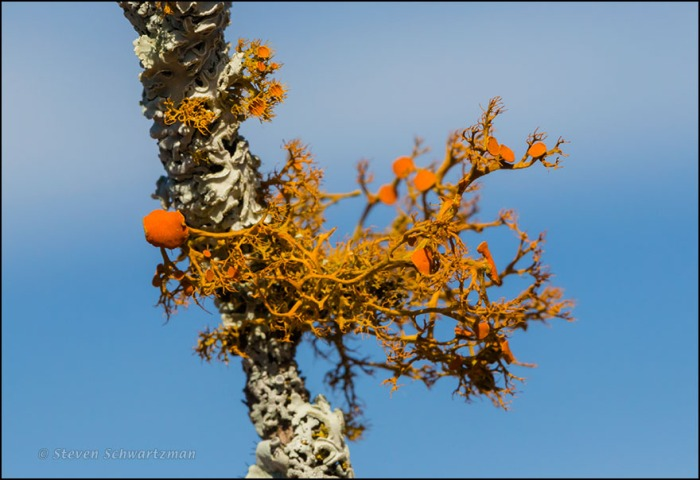 Orange Lichen on Dead Branch 6828A