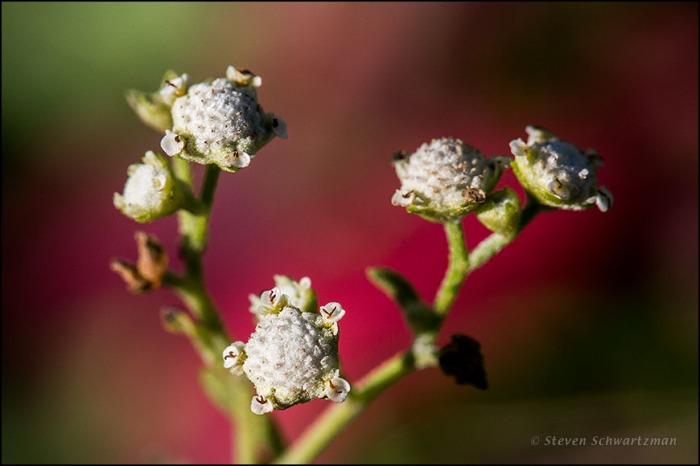 Parthenium Flower Heads by Colorful Leaves 1649