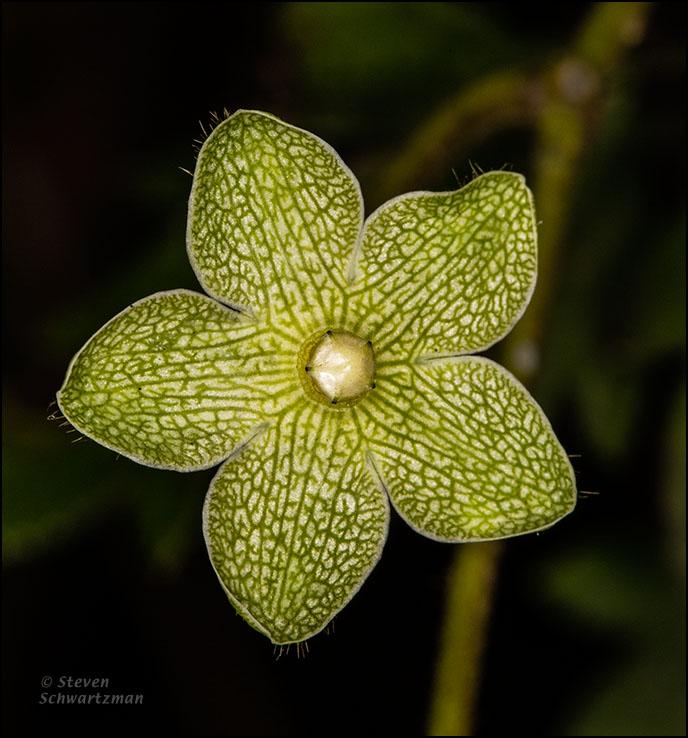 Pearl Milkweed Flower 0799
