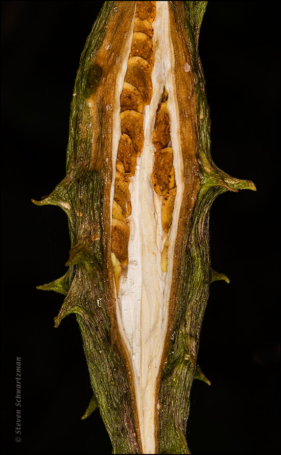 Pearl Milkweed Pod Beginning to Open 0838