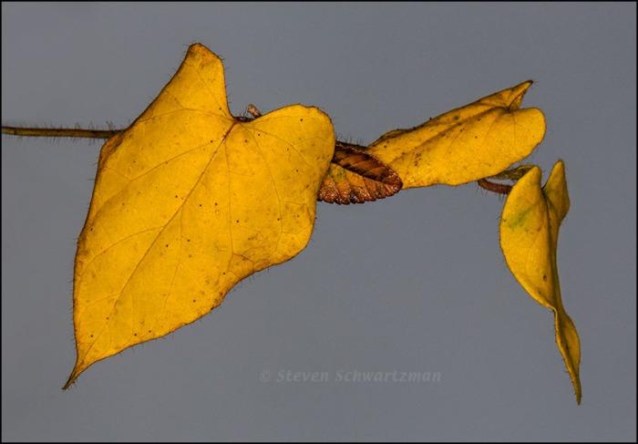 Pearl Milkweed Vine Leaves Turned Yellow 0790