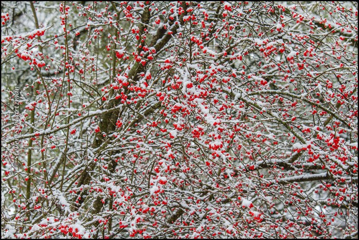Possumhaw with Fruit in Snow 2136