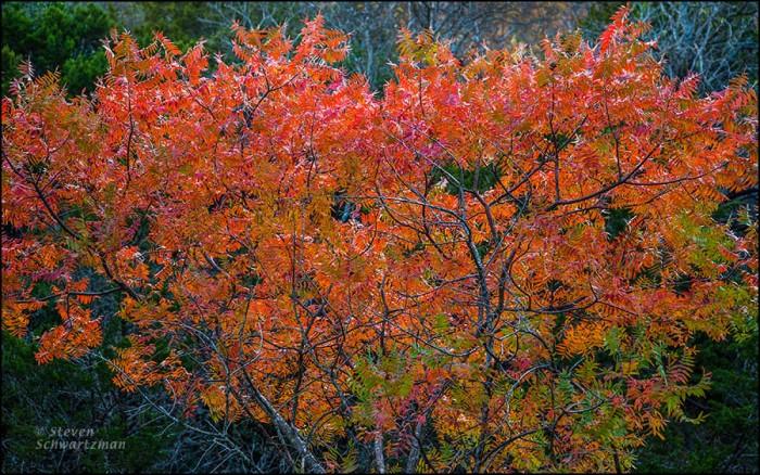 Prairie Flameleaf Sumac Turning Colors 0304