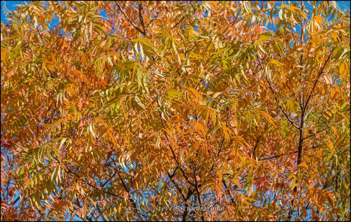 Prairie flameleaf sumac turning colors 7339