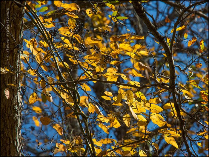 Rattan Vine Leaves Turning Yellow 0891