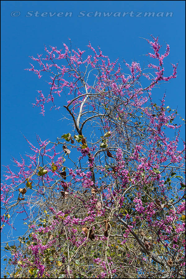 Redbud Tree Flowering Above Greenbrier Vine Tangle 7494