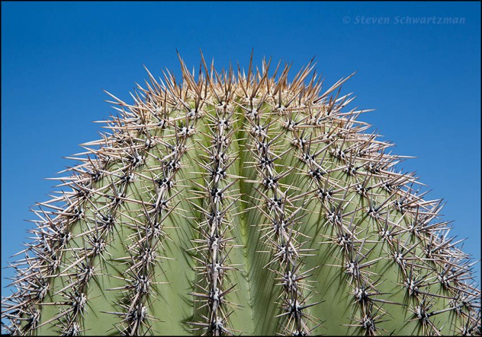 Spines on Young Saguaro 2207