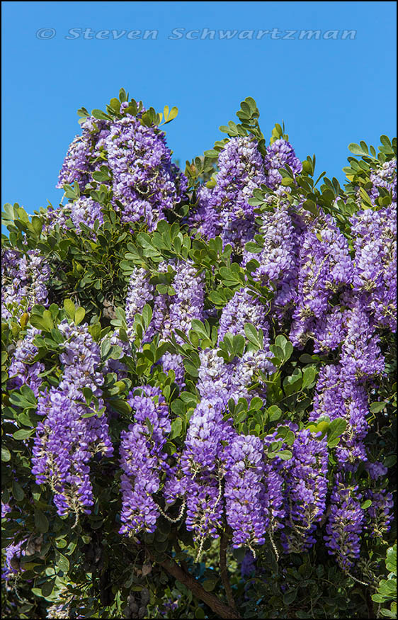 Texas Mountain Laurel Flowering 9616