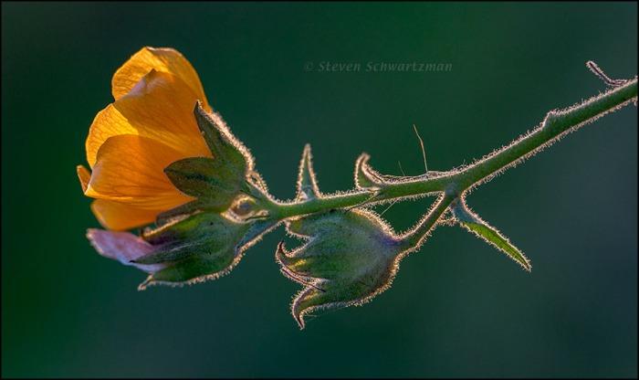 Velvetleaf Mallow Flower 1198