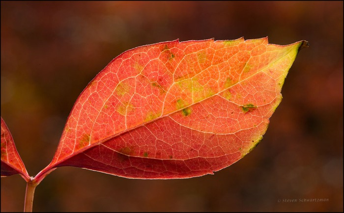 Virginia Creeper Leaflet Turned Red by Flameleaf Sumac 0441A