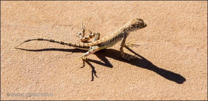 Whiptail Lizard 2393