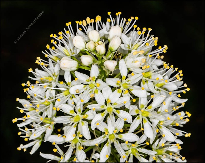 Death Camas Flowers and Buds 3803