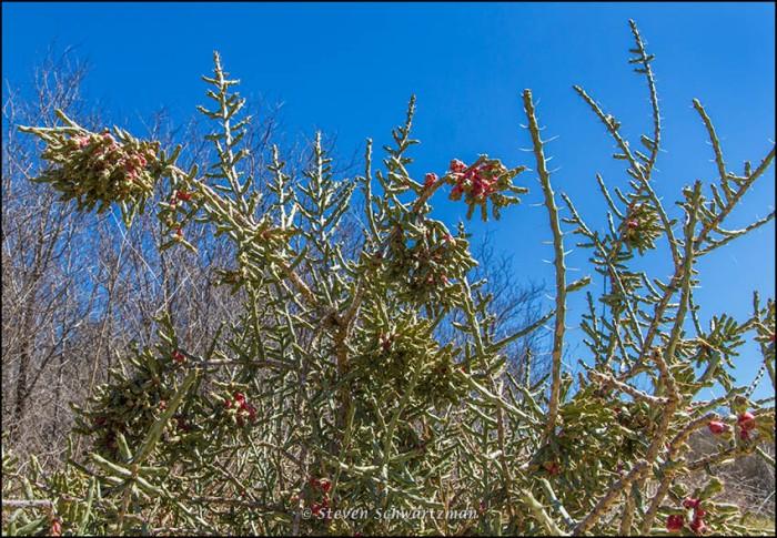 Dense Tasajillo Cactus 0632