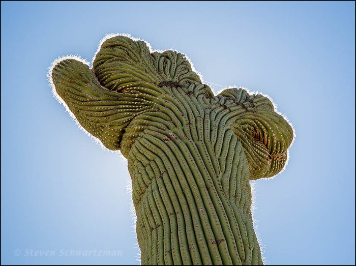 Fasciated and Backlit Saguaro 3652