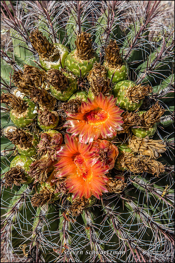 Fishhook Barrel Cactus with Fasciated Flowers 3038
