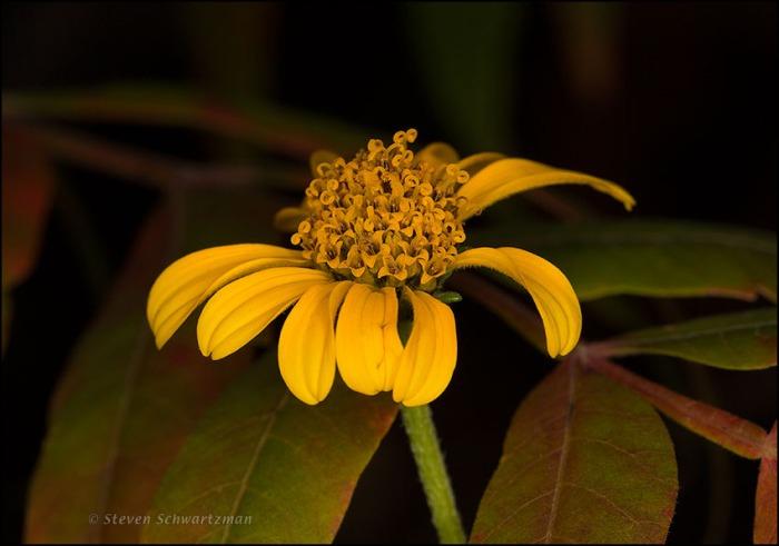 Goldeneye Flower Head by Flameleaf Sumac 2512