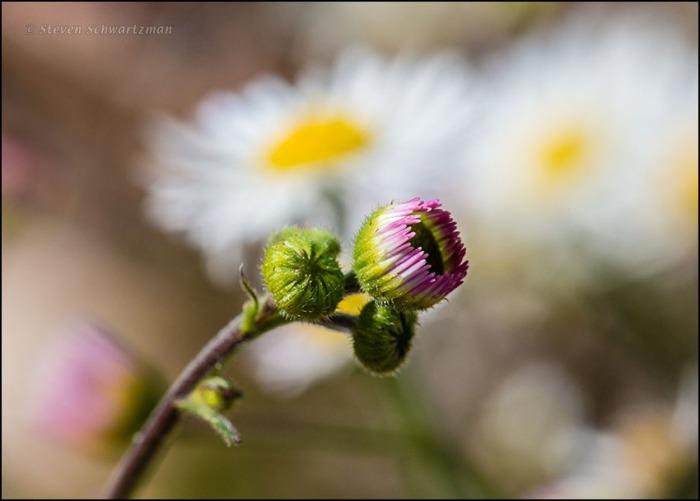 Prairie Fleabane Buds Opening by Open Flower Heads 0788