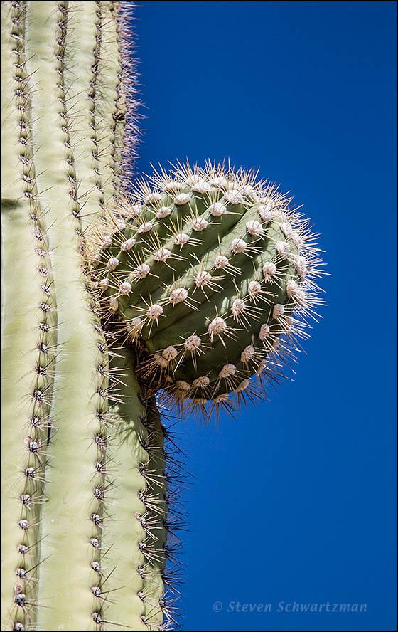 Saguaro Arm Bud 3142