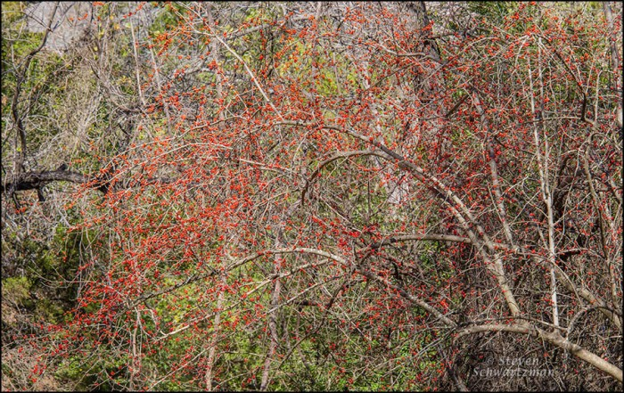 Possumhaw with Fruit in the Woods 7201