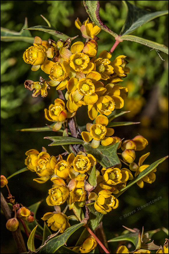 Agarita Flowers 9132