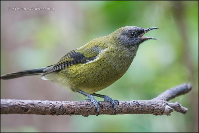 Bellbird 3973