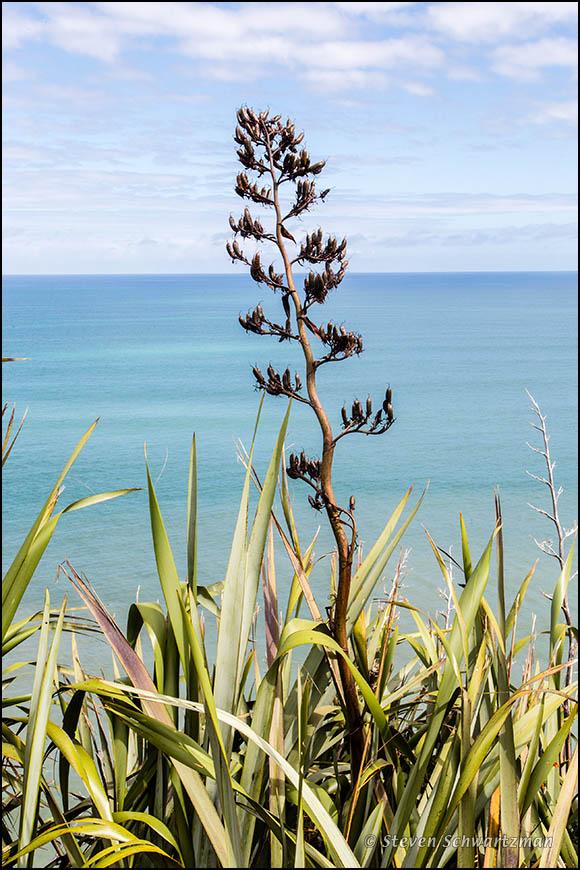 Flax Plant by Tasman Sea 5007