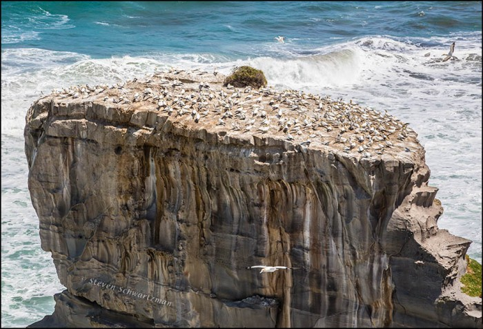 Gannet Colony on Seaside Boulder 3744