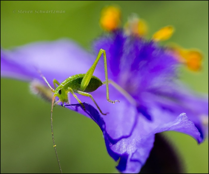 Katydid Nymph on Spiderwort Flower 9466