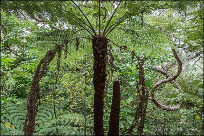 Mamaku Tree Fern 3929
