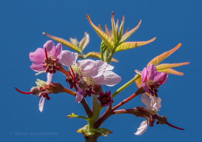 Mexican Buckeye Flowers and New Leaves 0753