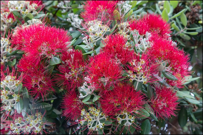 Pohutukawa Flowers 3119