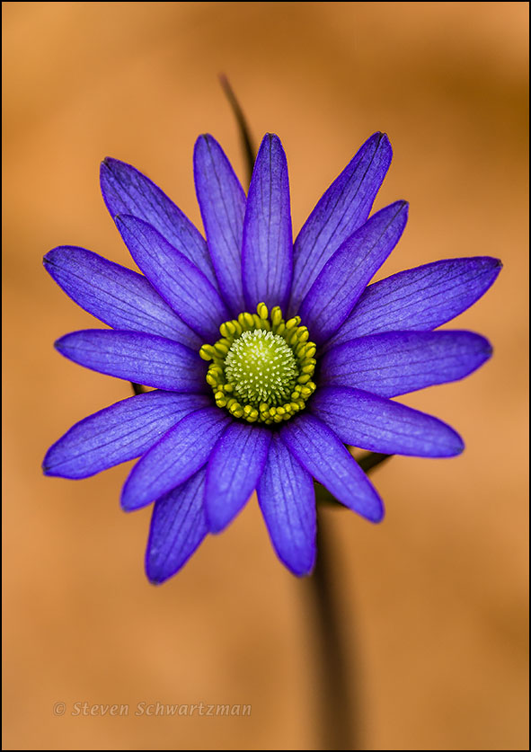 Purple Anemone Flower by Dry Leaf 9223