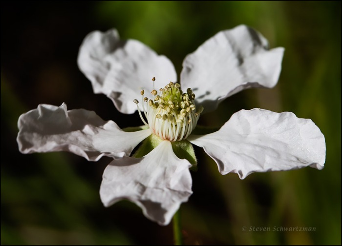 Southern Dewberry Flower 9578