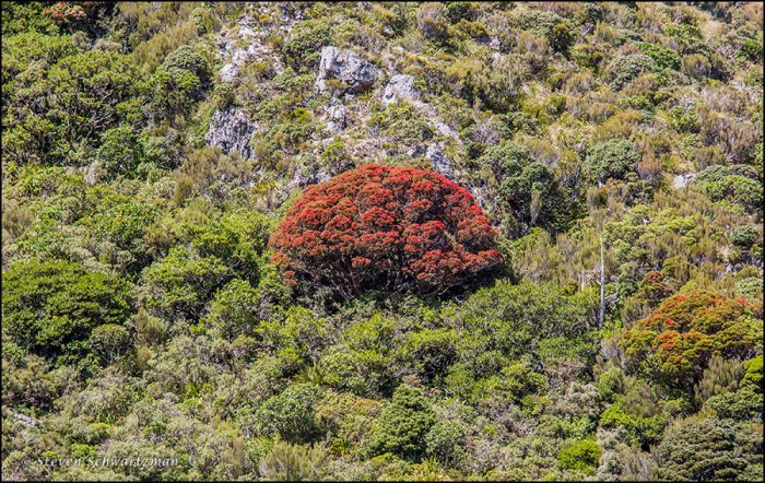 Southern Rata Tree Flowering 4888
