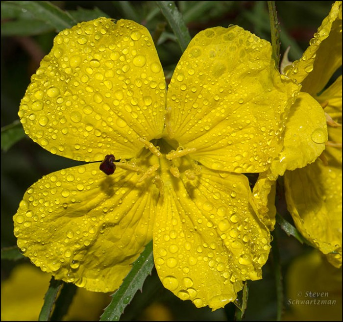 Square-Bud Primrose Flowers with Raindrops 8750