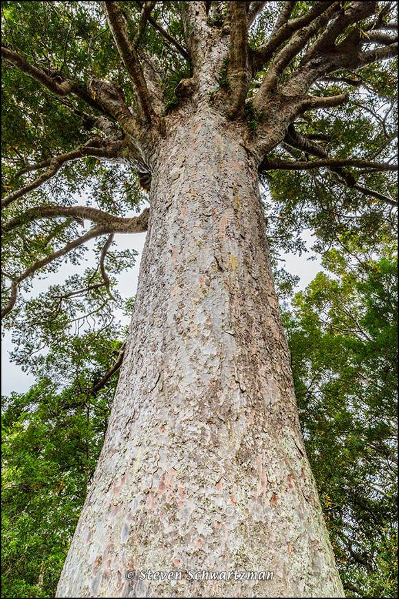 The McKinney Kauri 3386
