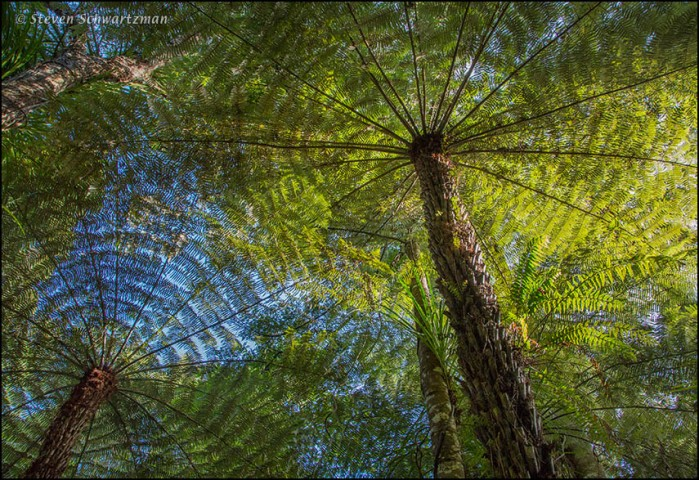 Tree Ferns from Below 3471