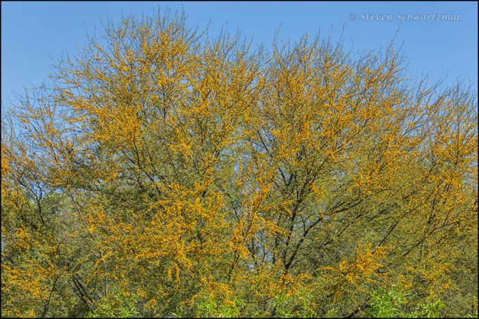 Huisache Tree Flowering 9868