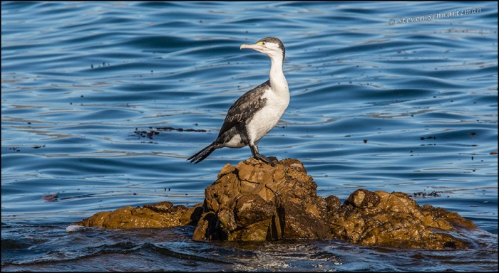 Pied Shag on Rock 6222